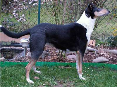 Korthåret Collie