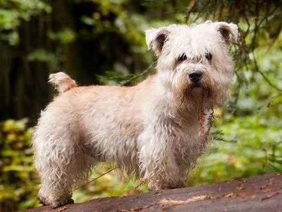 Irsk Glen of Imaal Terrier